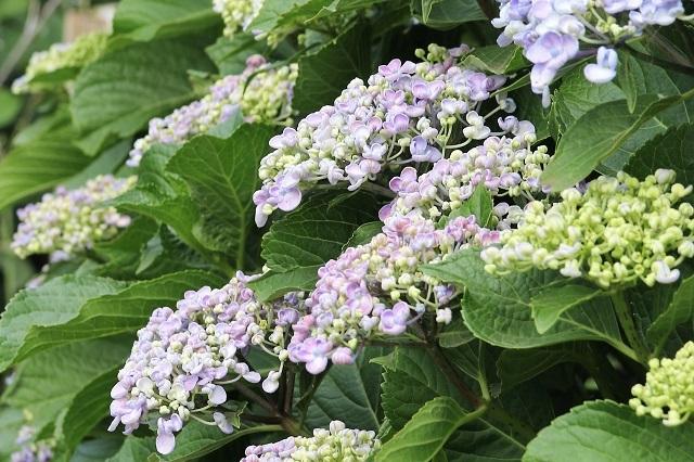 おたふく紫陽花