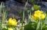 流れのほとりにはリュウキンカが咲く