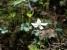バイカオウレンの花びらに見えるのはがく
