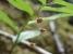 葉陰に小さな花が下がるタケシマラン