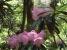 見頃のシャクナゲが咲いていた