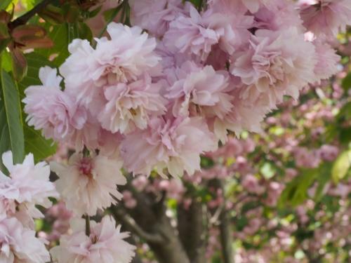 数珠掛け桜_20170502-1