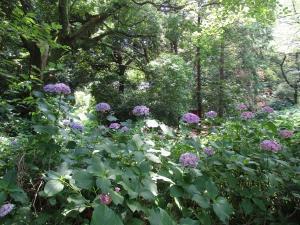 喜多院・紫陽花
