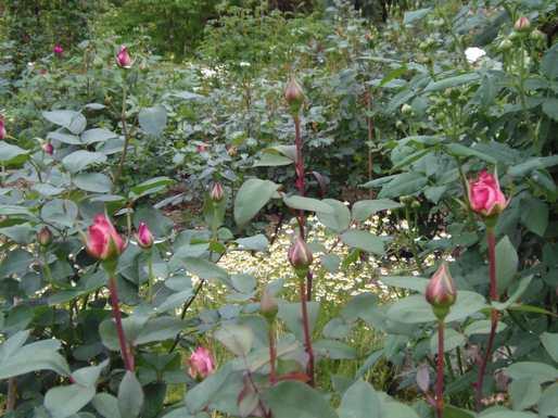 20170508 ガーデンのバラの状態