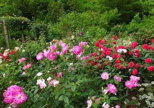 20170621 6月のバラ