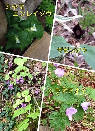 尾瀬の花1