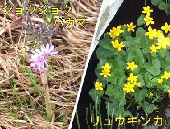 尾瀬の花2