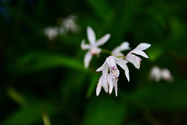 白花シラン02