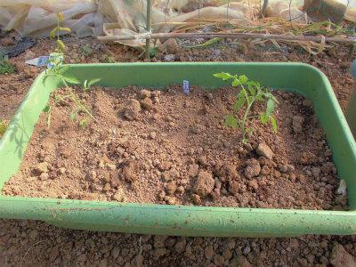 5.7トマト定植1