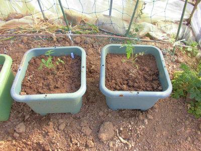 5.7トマト定植2
