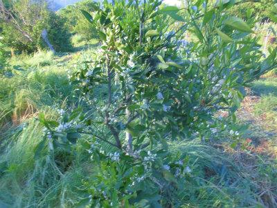 5.13柑橘に花が