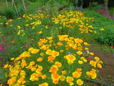 5.14畑の花1