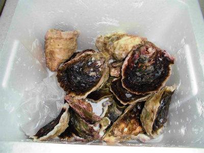 5.15岩牡蠣