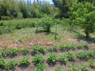 5.20ジャガイモと草刈地