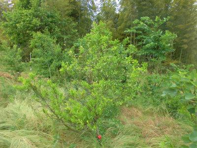 5.26柑橘の花が少ない