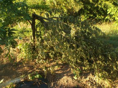 6.5栗の木が折れてた1
