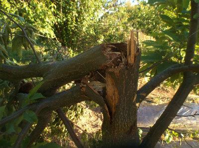 6.5栗の木が折れてた2