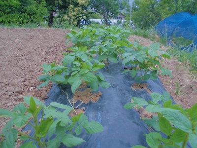 6.6枝豆