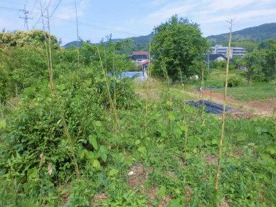 6.9畑北側に生え出した竹