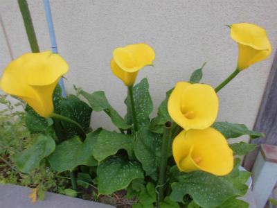 6.21黄色いカラー