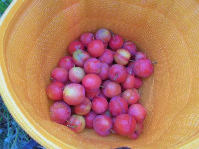 6.23プラム収穫