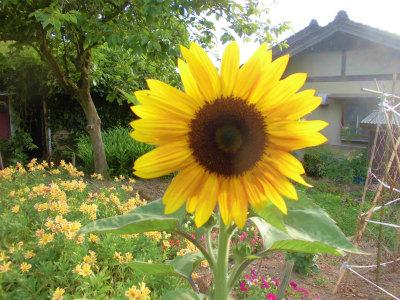 6.23畑の向日葵