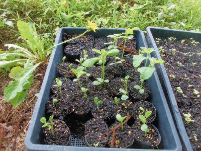 6.30黒千石大豆の芽が出た