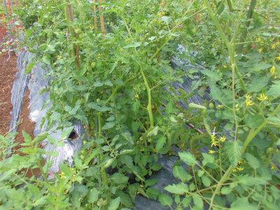 6.30トマトのソバージュ栽培
