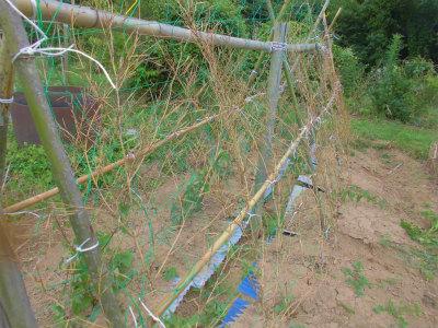 7.2山芋の支柱完成