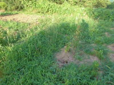 7.2草の中にはジャガイモ
