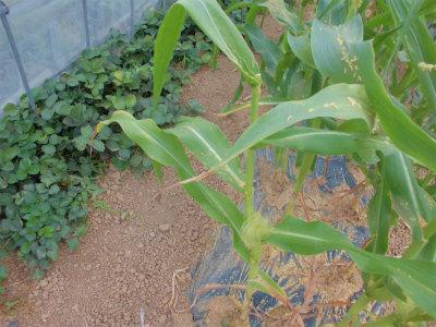 7.1トウモロコシの受粉