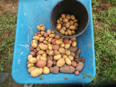 7.7ジャガイモを半分収穫