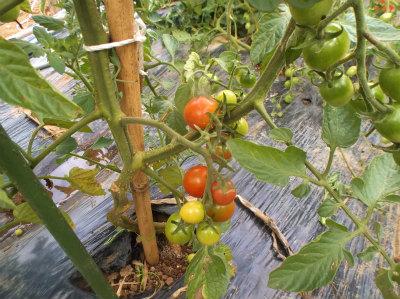7.7トマトが赤くなり出した