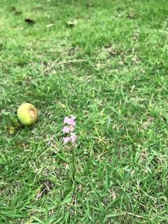 柿とネジバナ