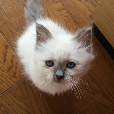 チャズちゃん 幸運を運ぶバーマン子猫