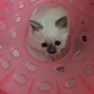 トイレの中の幸運を運ぶバーマン子猫ちゃん