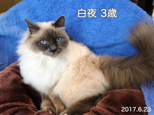白夜ちゃん 〜 幸運を運ぶ猫バーマン 〜