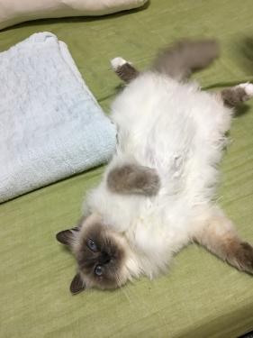 メロウちゃん 〜 幸運を運ぶ猫バーマン 〜