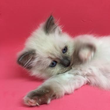 幸運を運ぶ バーマン子猫