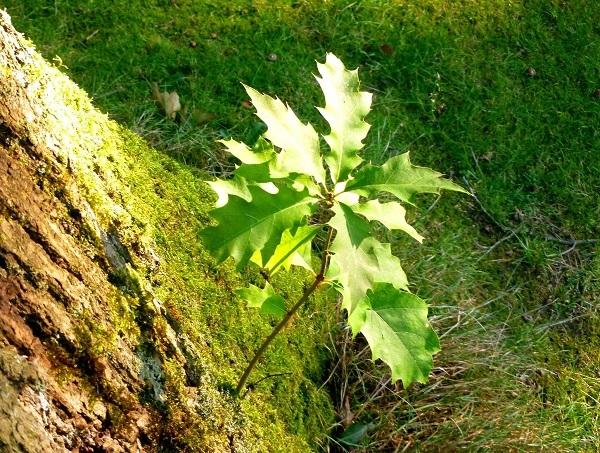20170501_oak leaves_s