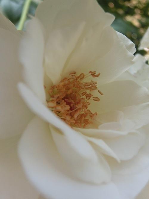 20170528_white rose1