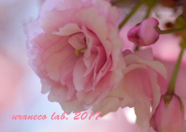 4月21日八重桜5