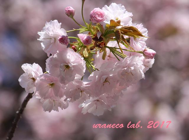 4月21日八重桜4