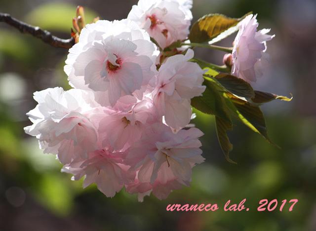 4月21日八重桜2