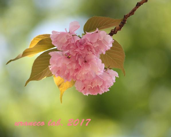 4月21日八重桜