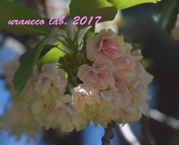 4月24日八重桜9
