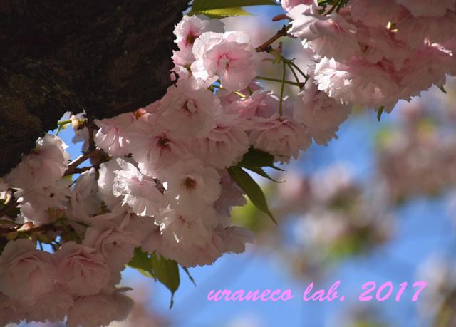 4月24日八重桜