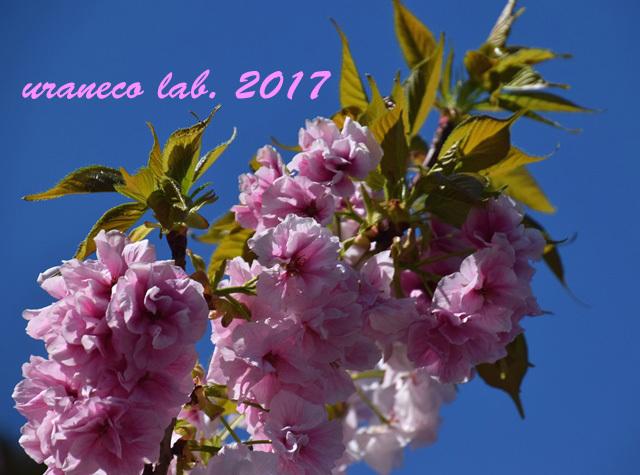 4月24日八重桜7