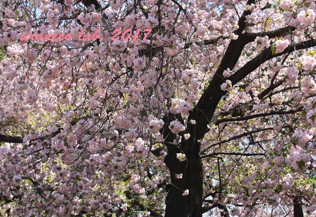 4月21日八重桜の木