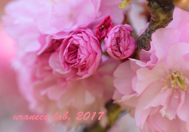 4月21日八重桜7